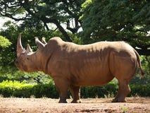 Nashorn-Weiß Lizenzfreie Stockfotos