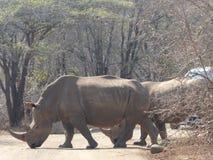 Nashorn, welches die Straße kreuzt Lizenzfreies Stockbild