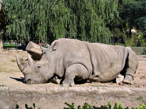 Nashorn in Zoo 2 lizenzfreies stockbild