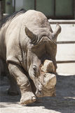 Nashorn am Zoo Stockbild