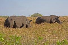 Nashorn zwei Stockfoto