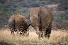 Nashorn zwei von hinten Lizenzfreie Stockfotos