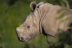 Nashornbabyporträt lizenzfreie stockfotografie