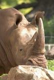 Nashornhauptnahaufnahme Lizenzfreie Stockfotos