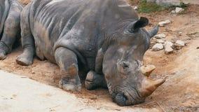 Nashornlügen aus den Grund beim Khao Kheow öffnen Zoo thailand stock footage