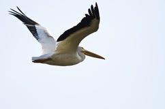 Nashornpelikan-Fliegen auf einem weißen Hintergrund Lizenzfreies Stockbild