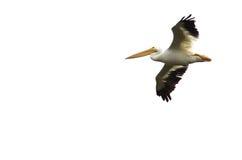 Nashornpelikan-Fliegen auf einem weißen Hintergrund Stockfotografie