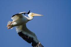 Nashornpelikan-Fliegen in einem blauen Himmel Stockfotos