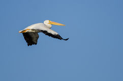 Nashornpelikan-Fliegen im blauen Himmel Stockfoto