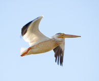 Nashornpelikan - Pelecanus erythrorhynchos, Fliegen in den blauen Himmeln Lizenzfreies Stockbild