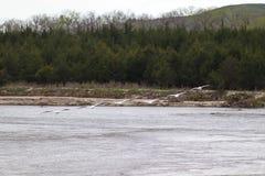 Nashornpelikane im Flug über dem Niobrara Nebraska stockbild