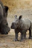 Nashornschätzchen Stockfoto