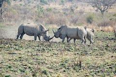 Nashornstiere Fighting in Südafrika stockfoto