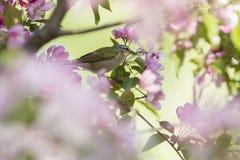 Nashville Warbler in apple blossoms Stock Photo