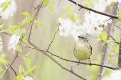 Nashville Warbler Stock Photo