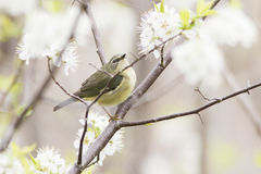 Nashville Warbler Royalty Free Stock Images