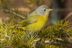Nashville Warbler Royalty Free Stock Photography