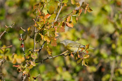 Nashville Warbler, Vermivora ruficapilla Royalty Free Stock Photos