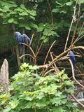Nashville zoo hyacinth macaws royalty free stock image