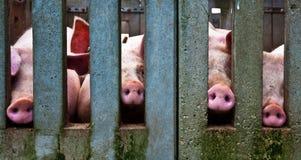 Nasi del maiale Fotografie Stock