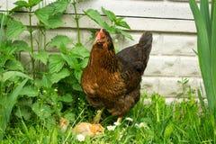 Nasiadowa karmazynka z kurczakami Zdjęcia Royalty Free