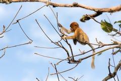 Nasica nella giungla del Borneo Fotografie Stock