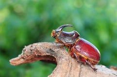 Nasicornis de Oryctes, escarabajo Fotografía de archivo libre de regalías
