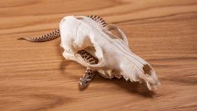 Nasicus del Heterodon, serpiente cerdo-sospechada occidental con el cráneo del zorro en fondo de madera Fotos de archivo