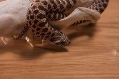 Nasicus del Heterodon, serpiente cerdo-sospechada occidental con el cráneo del zorro en fondo de madera Fotos de archivo libres de regalías