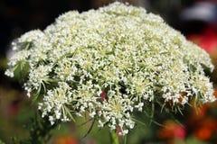 Nasieniodajna głowa Marchwiany rośliny daucus carota sativa Obrazy Stock