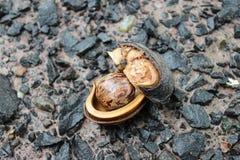 Nasieniodajna guma Zdjęcie Stock