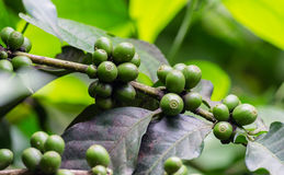 Nasieniodajna kawowej fasoli zieleń na Gałęziastej plamie tło i przedpole zdjęcia royalty free