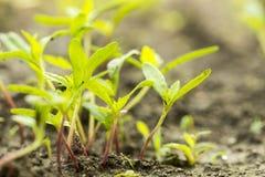 Nasieniodajny kiełkowanie przyrost w las zdjęcie royalty free