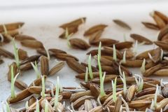 Nasieniodajny kiełkowanie, Sadzonkowa Ryżowa roślina obraz stock