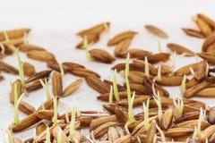 Nasieniodajny kiełkowanie, Sadzonkowa Ryżowa roślina fotografia stock
