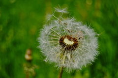 Nasieniodajny kwiat Fotografia Stock