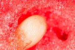 nasiona arbuza 2009 kwiatów makro- lato super Zdjęcia Stock