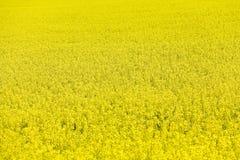 nasiona rzepaku Zdjęcie Stock