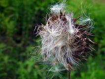 nasiona świętego oset mary Obraz Stock