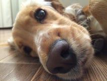 Naso canino bagnato e grande Fotografia Stock