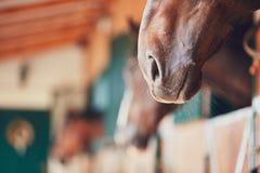 Naso del cavallo Fotografia Stock
