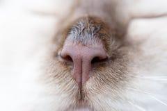 Naso del gatto di Brown Immagini Stock