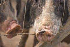 Naso del maiale Fotografie Stock Libere da Diritti