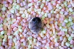 Naso del ` s del cane che colpisce dalle caramelle gommosa e molle Fotografie Stock