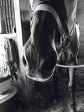 Naso del ` s del cavallo Fotografie Stock