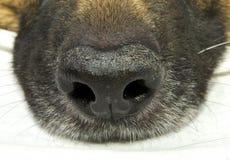 Naso di cane Fotografia Stock Libera da Diritti