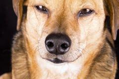 Naso di cane Fotografia Stock