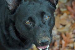 Naso di cane sporco Immagini Stock Libere da Diritti