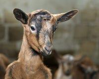 Naso di un bambino nell'allevamento delle pecore sull'azienda agricola Fotografie Stock Libere da Diritti