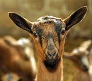 Naso di un bambino nell'allevamento delle pecore sull'azienda agricola Fotografia Stock